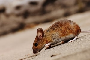 Mice Control, Pest Control in Collier Row, RM5. Call Now 020 8166 9746
