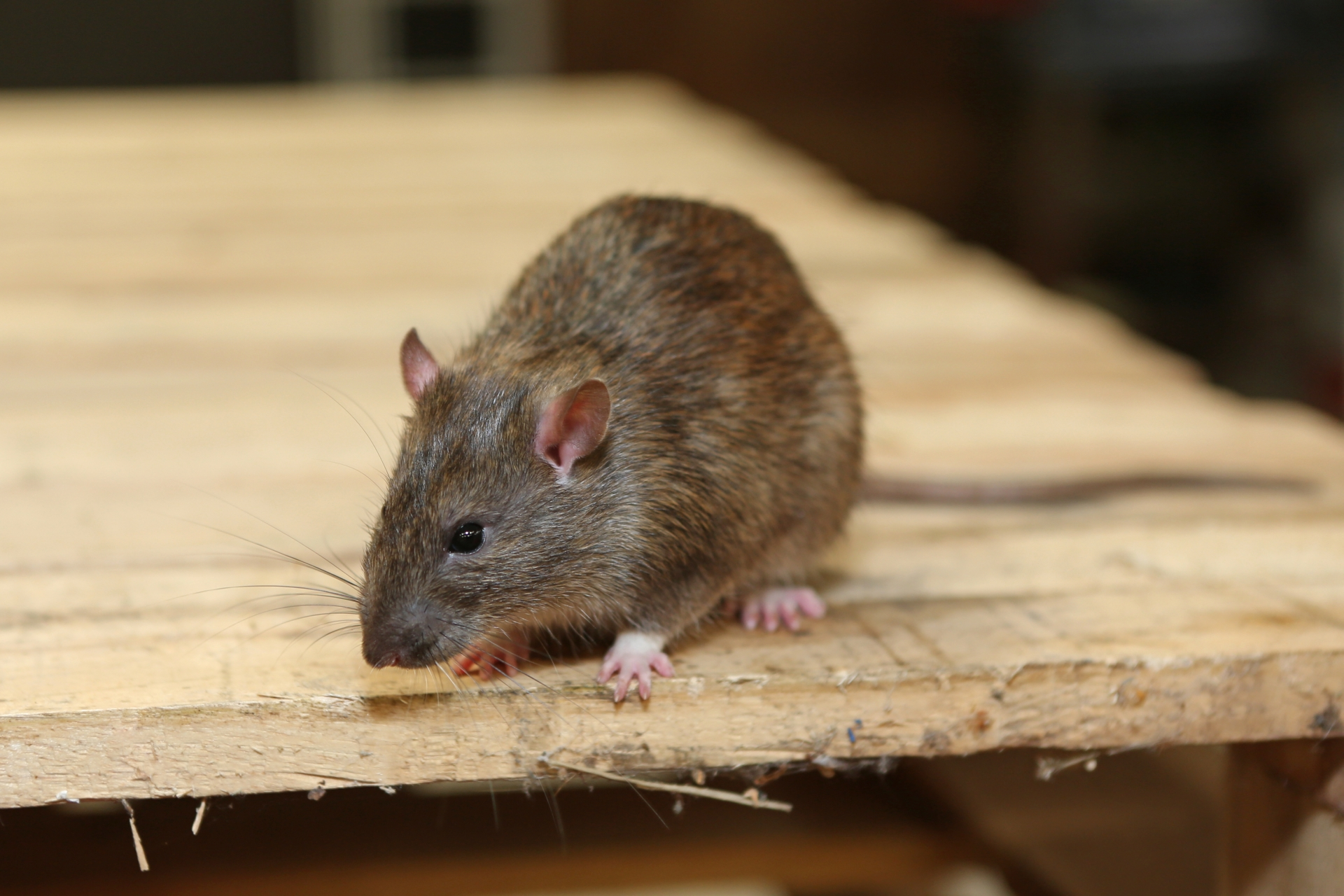 Rat Control, Pest Control in Collier Row, RM5. Call Now 020 8166 9746